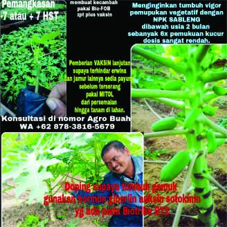 menanam pepaya- Pesan Di Antar | Buah Sayur Lauk Sembako